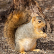 Stock Photo: Eastern gray squirrel in front of stump