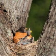 Stock Photo: Hunger pains of frail baby robin.
