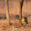 Coyote hids behind a tree in a praire - Stock Photo