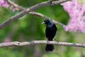 Redwing blackbird leans forward from a branch — Stock Photo