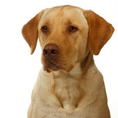 Yellow lab focuses on dinner — Stock Photo