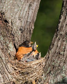 Hunger pains of a frail baby robin. — Stock Photo