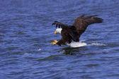 A focused bald eagle attcks its prey — Stock Photo