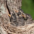 Stock Photo: Three young robins cry in with hunger pain