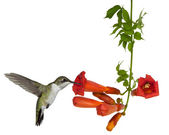 Hummingbird and a Trumpt Vine — Stock Photo