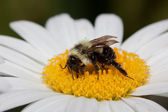 Bumble bee sips nectar from a daisy — Stock Photo