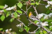 Singing blackburnian warbler — Stock Photo