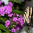 Swallowtail butterfly feeds on pink petunia — Stock Photo #9876717