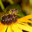 Preening honeybee on a black-eyed susan — Stock Photo