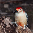 Stock Photo: Red-bellied woodpecker posed on tree stump