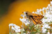Fiery skipper butterfly drinks nectar — Stock Photo