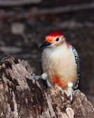 Red-bellied woodpecker posed on a tree stump — Stock Photo