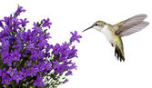 Hummingbirds positioned over a purple bellfower — Zdjęcie stockowe