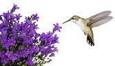 Kolibry naprowadzeniu fioletowy bellfower — Zdjęcie stockowe