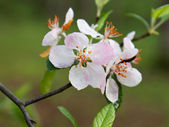 Apple blossom opens wide — Stock Photo