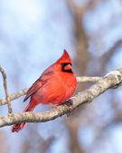 Cardinal nestled in a leafless tree — Zdjęcie stockowe