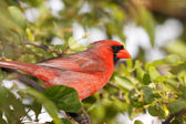 Cardinal sitting in a tree — Stock Photo