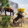 Stock Photo: Donkeys carrying water in Cape Verde
