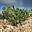 Opuntia cactus on a stone wall, Malta — Stock Photo