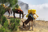 Donkeys carrying water in Cape Verde — Stock Photo