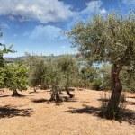 Olive field, Isla Maggiore, Umbria, Italy — Stock Photo #8694251