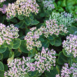 Stock Photo: Sedum in full bloom