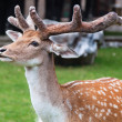 Stock Photo: Young Fallow deer