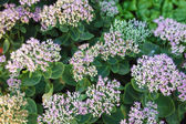 Sedum in full bloom — Stock Photo