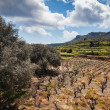 Field of olive trees and wine — Stock Photo