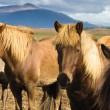Icelandic horses — Stock Photo #8882163