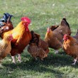 Flock of poultry — Stock Photo #8882274