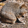 Stock Photo: Quokka