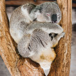 Royalty-Free Stock Photo: Koala, sleeping