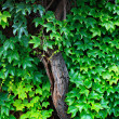 Wall with ivies — Stock Photo