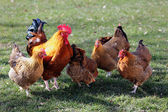 Flock of poultry — Stock Photo