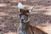 Mother kangaroo — Stock Photo