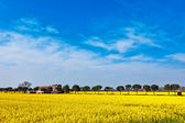 Panoramic view of mustard plants along the Trasimeno lake, Italy — Stock Photo