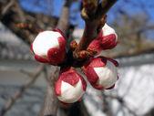 Peach buds — Stock Photo