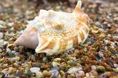 Büyük deniz hayvanı kabuğu — Stok fotoğraf