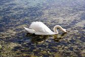 Eau potable cygne — Photo
