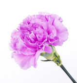 Purple carnation flower — Stock Photo