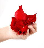 Rose petals in hand — Stock Photo