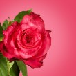 Rose on a pink background — Stock Photo #10252691