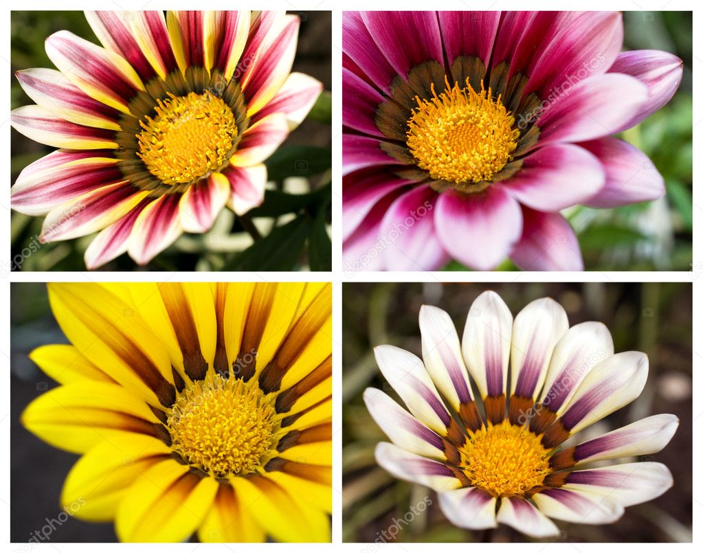 Floral collection of four images of daisies — Stock Photo #10454684