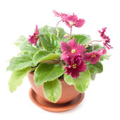 Potted purple — Stock Photo