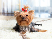 Puppy yorkshire terrier indoor — Stock Photo