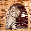 Funny little Scottish fold kitten sitting inside wicker cat hous — Lizenzfreies Foto