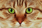 Close-up portrait of green-eyed cat — Stock Photo