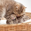 Adorable small scottish kitten in wicker basket — Stock Photo #9934466