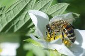 Bee op aardbei — Stockfoto